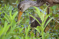 mg3129-limpkin and baby (jrivard07) Tags: wild baby green bird eye nature water animal fauna adult florida wildlife feathers chick foliage largo wading beaks limpkin