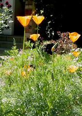 California Poppies (maralina!) Tags: california flowers light summer flower garden season la losangeles jardin sunny social poppy backlit flour t californiapoppy contrajour ensoleill lumre