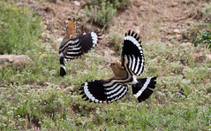 Hoopoe - they were difficult to locate, as they'd all bred early this year.