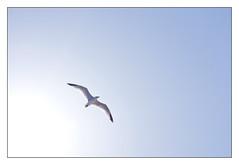 Gavina (shanshin) Tags: blue sky sun azul nikon seagull flight cel bleu sume ciel cielo verano vol blau gaviota tarragona mouette estiu vuelo gavina d80