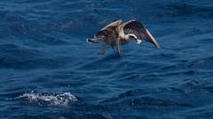 Hora de comer / Lunch time (Jos Rambaud) Tags: sea seascape seagull estrellas gaviotas straitofgibraltar