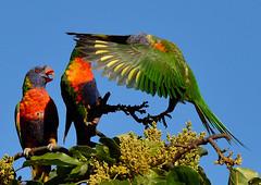 DSC_0066 (2) (RUMTIME) Tags: bird nature birds fly flying flight feathers feather lorikeet queensland coochiemudlo citrit