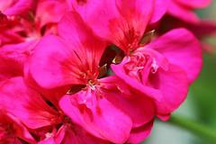 Corazon de Malbon (José Ramón de Lothlórien) Tags: flowers plants flores macro verde hoja hojas flora plantas jr shamrocks shamrock follaje gree botones malbon trebol producciones capollo treboes