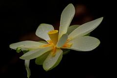 Lotus on Black (flutterbye216) Tags: flower water rain canon drops lotus florida bloom 100400mm onblack flutterbye216 challengeclubchampion