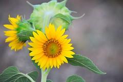 Nikon D700 (sifis) Tags: flower yellow garden nikon greece sunflower sakalak d700 σακαλακ