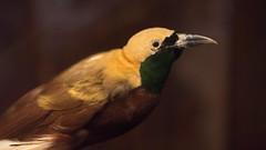Stuffed in the British Museum (M Hooper) Tags: bird london stuffed