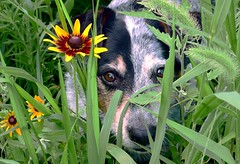 Roy Rose in the grass (royrose) Tags: flowers dog garden cattledog australiancattledog wildflower mixedbreed blackeyedsusan blueheeler flowerwatcher