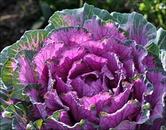 Sunlit Ornamental Cabbage (Stella Blu) Tags: plant violet backlit sunlit ornamentalcabbage bigmomma stellablu herowinner pregamesweepwinner