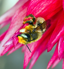 Getting A Late Start (kaeagles) Tags: california dahlia flowers macro backyard bees bugs pleasanton canon100mmf28 megachileperihirta
