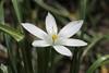 Ornithogalum umbellatum, Dolden-Milchstern (julia_HalleFotoFan) Tags: ornithogalumumbellatum ornithogalum asparagaceae doldenmilchstern milchsterne spargelgewächs ornithogaleae