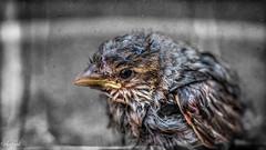 A Life Saved (C.A.Photogenics) Tags: saved life macro bird art pond artistic drowning