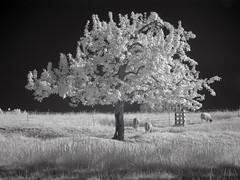 DSC00247re (vorinami) Tags: nature ir infrared f828 hoya r72
