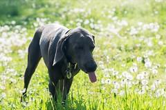 weim/goat (VanaTulsi) Tags: dog weimaraner weim blueweimaraner vanatulsi blueweim
