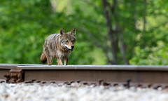 Coyote by Steve Gifford (Steve Gifford - IN) Tags: coyote railroad bird nature birds river photo wildlife steve picture indiana national photograph steven society refuge audubon gifford nwr ias haubstadt trackspatoka