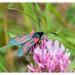 Widderchen - Zygaenidae