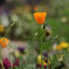 Amapolas Californiana (Martha MGR) Tags: flowers dof bokeh natureza flor orangeflower delicate beautifulnature beautifulflower delicada florlaranja shieldofexcellence amapolascaliforniana