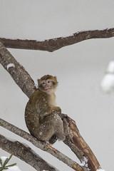 Young macaques exploring in the first snow (Korkeasaaren elintarha) Tags: korkeasaarenelintarha elintarha korkeasaari hgholmensdjurgrd djurgrd helsinkizoo hgholmen zoo animals zooanimals berberiapina barbarymacaque macacasylvanus
