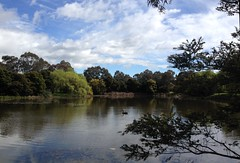 Swan on clear Eardley St pond (spelio) Tags: pond lake pool weeds act canberra 2016 clouds sky belconnen australia