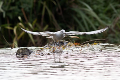 untitled (robwiddowson) Tags: blackheadedgull bird birds nature natural animal animals action water river robertwiddowson photo photograph photography image picture