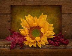 Autumn Colors (njk1951) Tags: autumn autumncolors autumntextures maple leaves mapleleaves red sunflower yellow wood goldenlight redleaves crunchyleaves stilllife