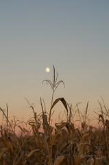 Harvest Time (IRick Photography) Tags: harvest moon corn cornfield crop fall autumn farm farmer farms farmers farming harvesting sunset dusk