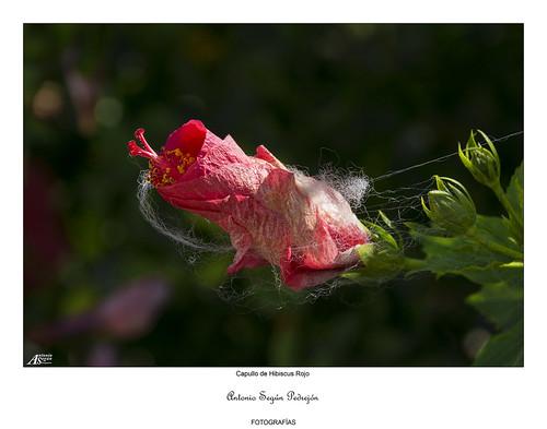 Capullo de Hibiscus Rojo