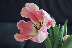 Der letzte meiner Tage (amras_de) Tags: tulpe tulipa tulipan tulipn tulip tulipo tulppaanit tulipe tulpes tulp tulipanslekta lalea tulpie tulpanslktet lale blte blume flor cvijet kvet blomst flower floro is lore kukka fleur blth virg blm fiore flos iedas zieds bloem blome kwiat floare ciuri flouer cvet blomma iek