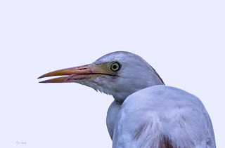 GUARDA  BUOI   ---   CATTLE EGRET    ( Bubulcus Isis)