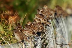 HOUSE SPARROWS / MINSTER / KENT / UK. (Tom Webzell) Tags: naturethroughthelens