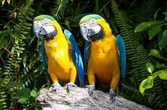 (JOAO DE BARROS) Tags: macaw bird animal zoo joo barros