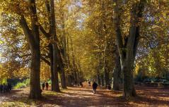 Golden plane alley of Tbingen (KF-Photo) Tags: 1610 crop herbstlaub lichteinfall platanen platanenallee spaziergnger tbingen warmefarben leichtverwackelt