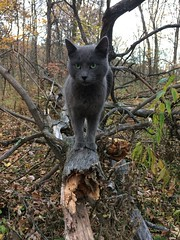 cat named squirrel (neighsayers) Tags: catnamedsquirrel gray graycat woods barncat