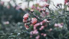 11.10.2016 (Fregoli Cotard) Tags: rose frozen pink autumn dead flower frozenrose dailyjournal dailyphoto dailyphotograph daily 366 366daily 366dailyproject 366days 366dailyphoto 366dailyjournal 366project 366photoproject 366photos photojournal photodiary photographicaljournal everydayphoto everydayphotography everydayjournal aphotoeveryday 285of366 285366