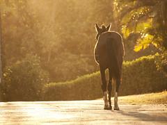 horsie (Bernal Saborio G. (berkuspic)) Tags: horse equine sunset silhouette bokeh composition