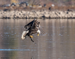 Checking His Catch (b88harris) Tags: bald eagle mature white head brown body yellow talons shad river water sunlight sunshine light exposure park raptor nikon d750 300mm nikkor lens bird wildlife nature specanimal ngc