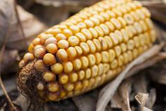 Corn (martinleary777) Tags: tamron 90mm f28 macro handheld