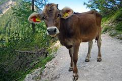 Alpine cow (pentars) Tags: alps alpine mountains cow close wide landscape view animal beautiful braies lake pentax k5ii sigma 1020 f35 kine beef italy