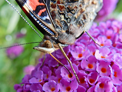 Aglais Io close-up* (N0893) (Le Photiste) Tags: clay aglaisio inachisio europeanpeacock peacockbutterfly tagpfauenauge paondujour vanessaio occhiodipavone mariposapavoreal dagpfuglye dagpfugleje pfgelga dagpauwoog deipaueach butterfly nature naturesprime rainbowofnaturelevel1red planetearthnature planetearth planetearthwildlife wildlife insects nikoncoolpixs9900 nikon simplysuperb thebestshot artisticimpressions beautifulcapture creativeimpuls digitalcreations finegold hairygitselite lovelyflickr mastersofcreativephotography macro closeup photographicworld soe thepitstopshop vividstriking vigilantphotographersunite wow yourbestoftoday ngc animals aphotographersview autofocus bestpeopleschoice afeastformyeyes thelooklevel1red blinkagain cazadoresdeimgenes greatphotographers digifotopro djangosmaster damncoolphotographers fairplay friendsforever infinitexposure iqimagequality giveme5 livingwithmultiplesclerosisms photographers prophoto showcaseimages lovelyshot photomix saariysqualitypictures theredgroup interesting simplybecause ineffable momentsinyourlife