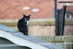 Sooty keeping a lookout! (SteveH1972) Tags: cat cats canonef70200mmf28lusm animal pet garden bartonuponhumber northlincolnshire northernengland uk england britain outdoor outdoors outside home canon700d canonef70200f28lusm
