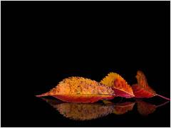 Autumn leaves (Unni Henning) Tags: leaves autumn autumncolours nature studio acrylictabletop blackbackground warwickshire england macro closeup flash indoor reflection imageborder