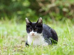 Kitten of the grass (dayonkaede) Tags: kitten grass olympus em1 m300mm f40