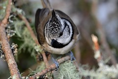Crested Tit. (jimbrownrosyth) Tags: