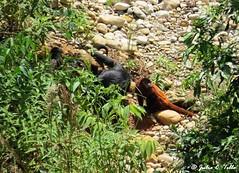 Red Howler Monkey (Alouatta sara) y Black spider Monkey (Ateles chamek) comiendo barro (Julio C. Tello Alvarado) Tags: monkey arcilla barro monos primates ateles chamek maquisapa monoaraña seniculus sara alouatta howler aullador cotomono julioctello