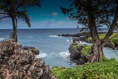 Trees growing out of lava rocks (x376) Tags: wainapanapastatepark maui hawaii hana