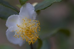 Camellia sinensis (Jim Mayes) Tags: canon eos digital 90mm macro tamron tamronspaf90mmf28dimacro