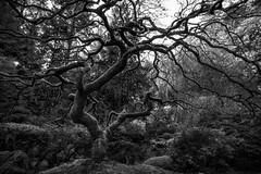 Stripped Down (Greg Mombert) Tags: japanese maple portland oregon tree branch black white fall winter system nature landscape northwest season