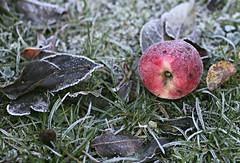 Frozen apple (Magreen2) Tags: frozen apple cold icy season garden red green gras garten apfle gefroren eis eisig jahreszeit