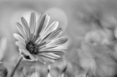 Contraluz b&n / Backlit B&W (hequebaeza) Tags: naturaleza vegetacin vegetation flores flowers flora blancoynegro monocromtico bw monocromo nikon d5100 nikond5100 3570mm tubosdeextensin macro hequebaeza macromonday backlit