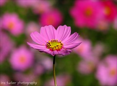 Nothing's as mean as giving a little child.... (itucker, thanks for 2.6+ million views!) Tags: cosmos macro bokeh raulstonarboretum hff