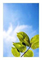 Blue And Green (red stilletto) Tags: oceangrove bellarinepeninsula leaf leaves greenleaves sky clouds spring